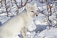 01863-01203 Arctic Fox (Alopex lagopus) in snow in winter, Churchill Wildlife Management Area, Churchill, MB Canada