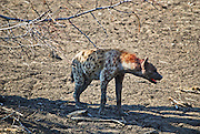 Hyena. South Luangwa, Zambia.