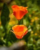 California Poppy Flower. Image taken with a Nikon N1V3 camera and 70-300 mm VR lens.