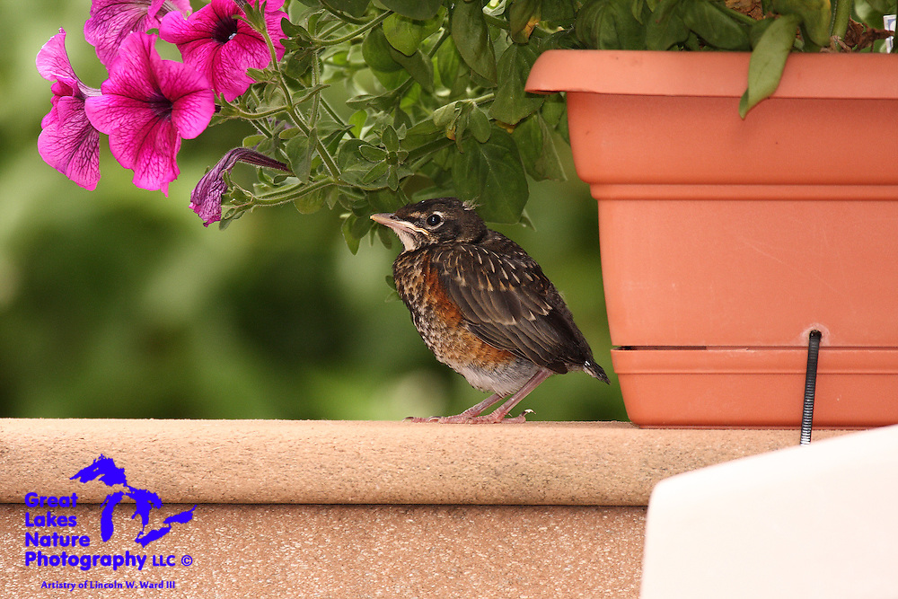This little fellow, just out of the nest, was taking a break from the summer sun. He was also anticipating a visit from a parent, along with his next meal.