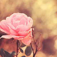 close up of a pink rose with pastel hues