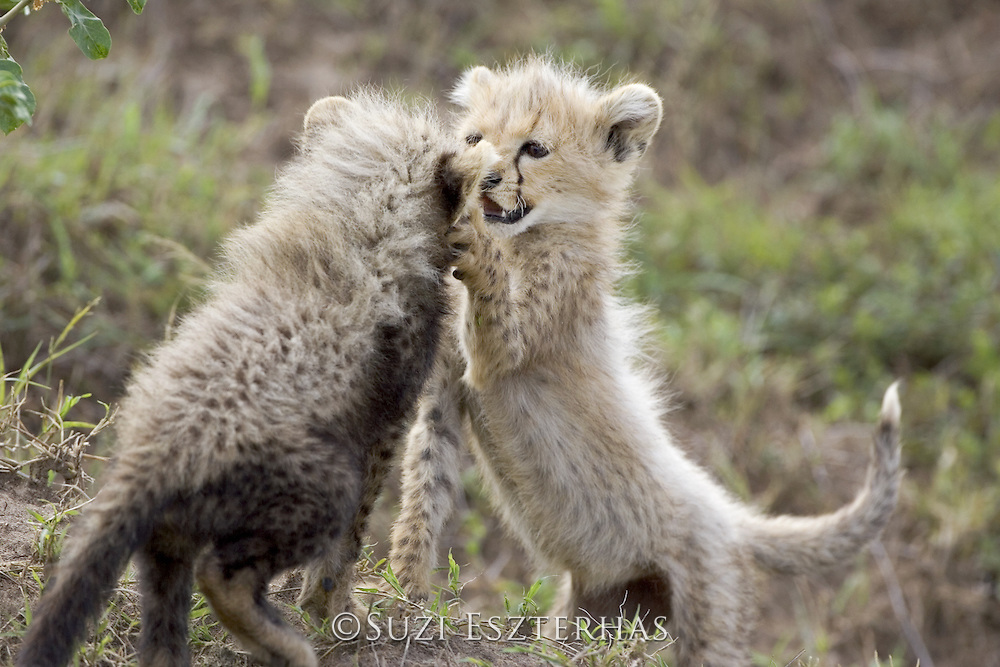 Cheetah<br /> Acinonyx jubatus<br /> 8 week old cub(s) playing <br /> Maasai Mara Reserve, Kenya