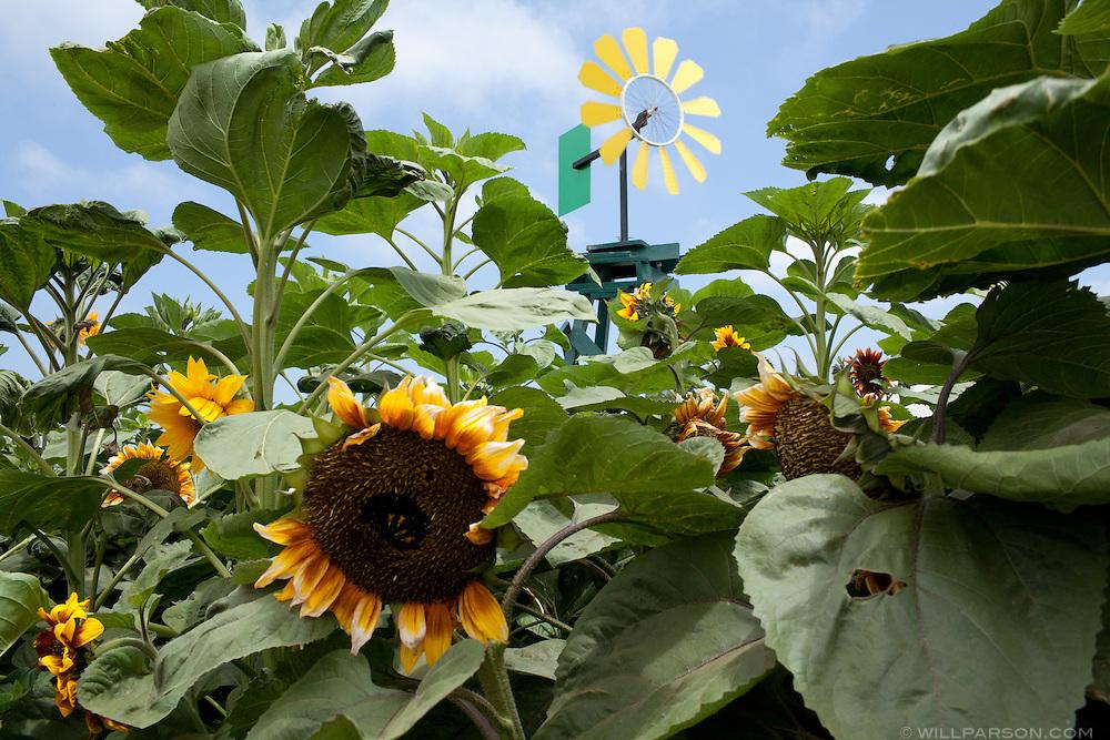 Sunflowers in the garden exhibit.