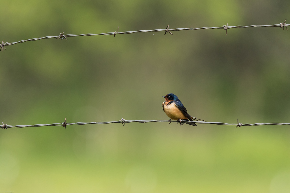 Barn Swallow on barbed wire fence