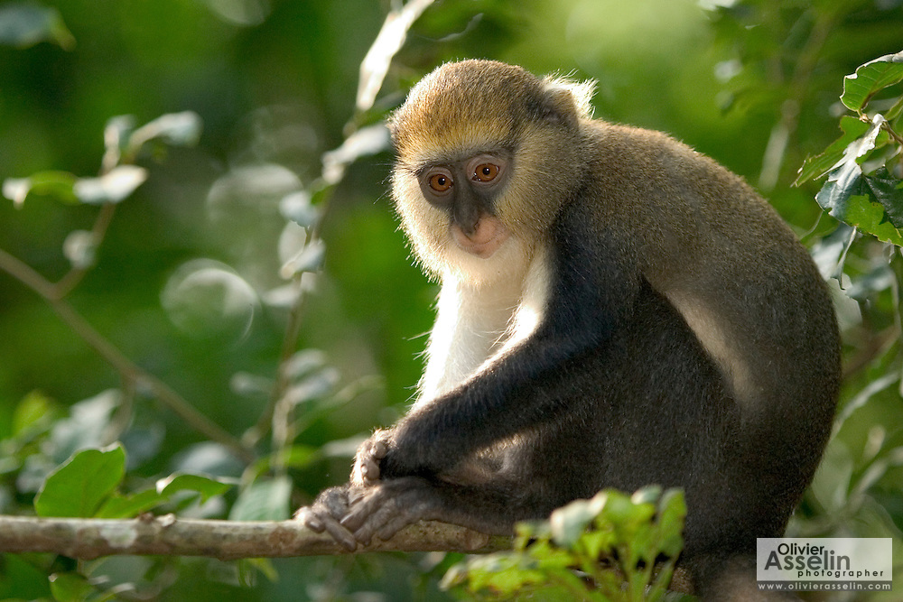 Mona monkey at the Baobeng-Fiema monkey sanctuary, Ghana, West Africa.