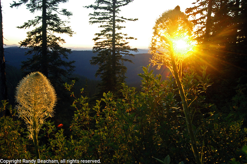 Bear grass at sunset from Canuck Peak in the Northwest Peak Scenic Area. Purcell Mountains, Montana