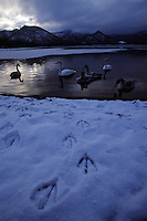 A group of whooper swans, Cygnus cygnus, rest in a pool at twilight.