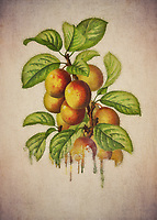 When you think of plums, particularly in terms of how they are depicted here, what do you imagine? It is easy for our thoughts to turn to certain times of the year. Plums can be a seasonal treat for many. For others, they remind them of everything the summer season has to offer.<br />
