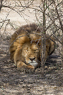 Large male Lion in East African habitat