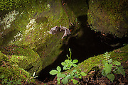 A rafinesque's big-eared bat (Corynorhinus rafinesquii) emerges from a small cave. Mammoth Cave National Park, Kentucky. © Michael Durham