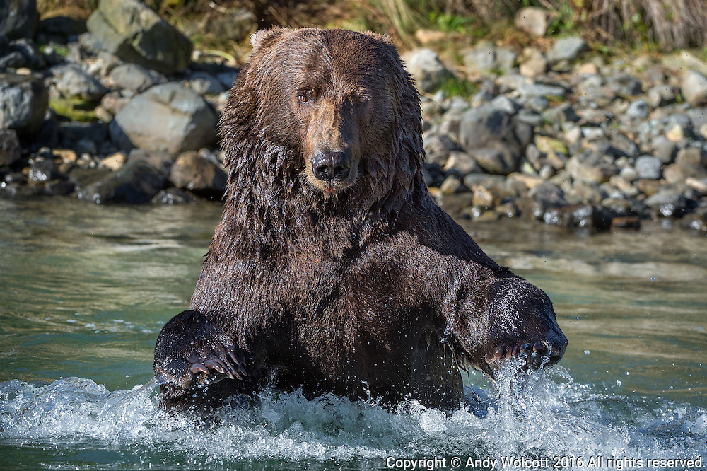 A huge Coastal Brown Bear boar fishes for salmon.  Grizzlies and Coastal Brown Bears are genetically identical - the difference being geography and diet.  Coastal Brown bears grow much larger than grizzlies due to the high protein content of their diet and the relatively easier life style along the more temperate coast lines of Alaska.
