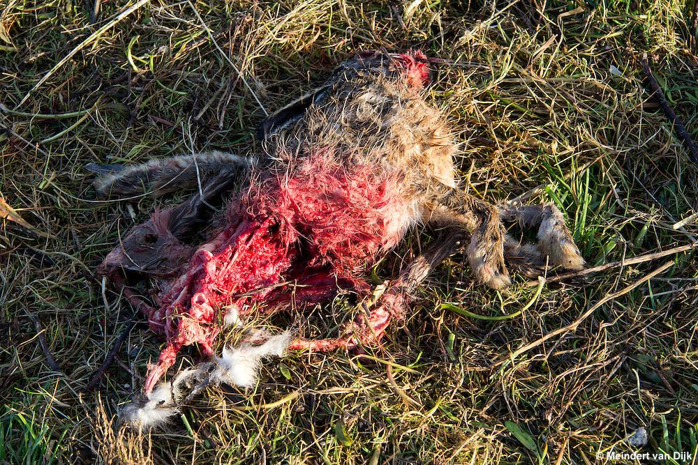 Aangevreten kadaver van haas in buitendijkse kwelder.