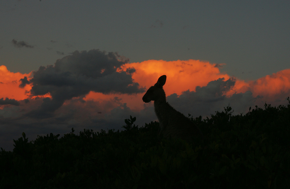 A kangaroo at sunset at Diamond Head in Crowdy Bay National Park near Lauriton on the NSW mid north coast, Australia.