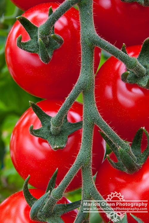 Close-up view of ripe cherry tomatoes, growing in a Kodiak Island greenhouse, Alaska, summer.