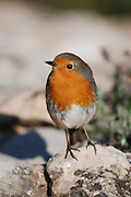 European Robin (Erithacus rubecula), Israel, March 2009