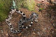 Northern Pine Snake (Pituophis melanoleucus)<br /> CAPTIVE<br /> USA<br /> Endemic to SE USA
