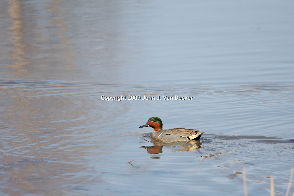 Green Winged Teal Duck male swimming