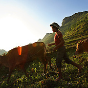 A girl leads her cows home after a day of grazing in Ha Giang, Vietnam's northernmost province.