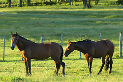 Cavalos visto em campos de pasto da região do Vale do Rio pardo. FOTO: Jefferson Bernardes/Preview.com