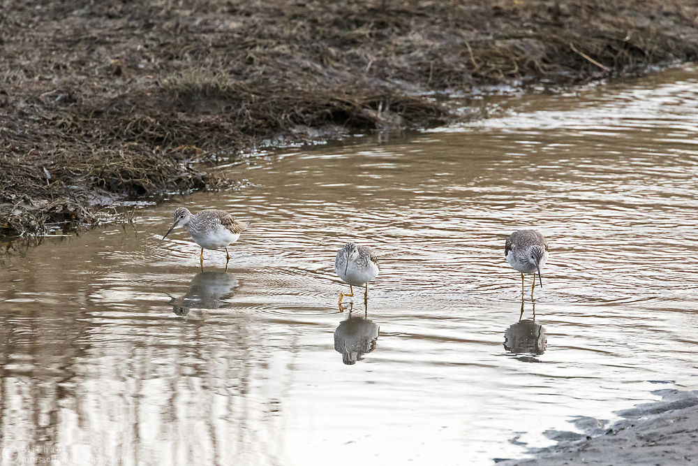 3 Group of Greater Yellowlegs (Tringa melanoleuca) forage for lunch at Blackie Spit as the tide comes in.