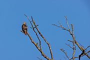A red-tailed hawk (Buteo jamaicensis) blends in with its perch as it hunts on Spencer Island near Everett, Washington.