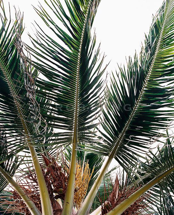 Fan palm tree, close-up