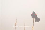 01603-02611 Red-winged Blackbird (Agelaius phoeniceus) male singing/displaying in fog near wetland Prairie Ridge State Natural Area Jasper Co. IL