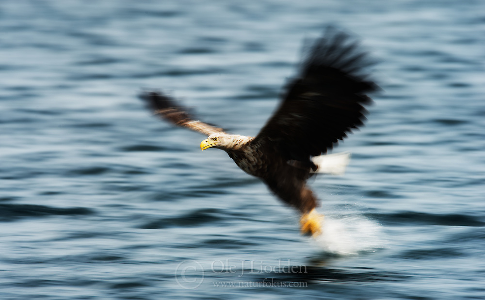 White-tailed Eagle (Haliaeetus albicilla) in Smøla, Norway