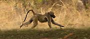 A Chacma baboon (Papio ursinus) running through grassland in Matobo National Park, Zimbabwe. © Michael Durham / www.DurmPhoto.com