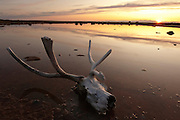 CANADA, Nunavut.Sunset over tundra pond with caribou (Rangifer tarandus) skull