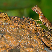 Alberto Carrera, Brown-patched Kangaroo lizard, Wiegmann's Agama, SriLankan Kangaroo Lizard, Otocryptis wiegmanni, Sinharaja National Park Rain Forest, Sinharaja Forest Reserve, World Heritage Site, UNESCO, Biosphere Reserve, National Wilderness Area, Sri Lanka, Asia