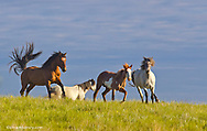 Wild Horse running at Theodore Roosevelt National Park, North Dakota, USA