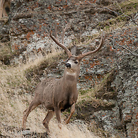 wide trophy mule deer buck walking though rocks