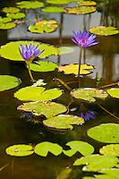 Lotus flowers blooming in a pond in Eastern Bali, Indonesia
