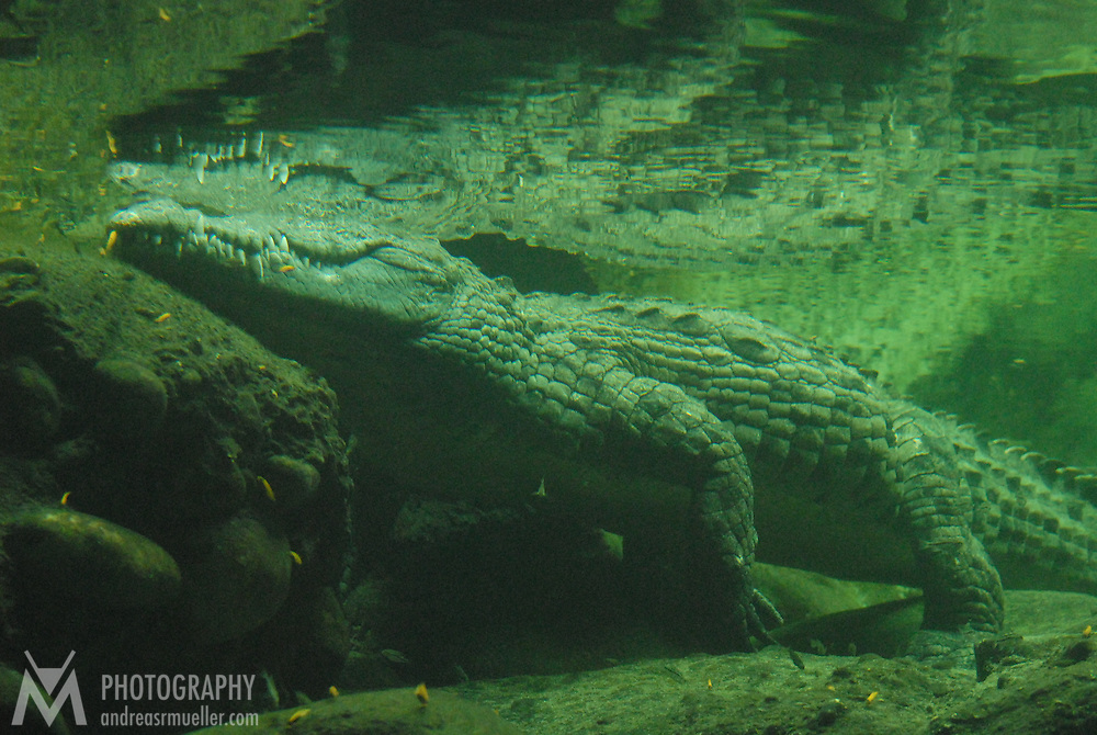 Underwater image of a crocodile taking a bath observing the scene at the river bank.