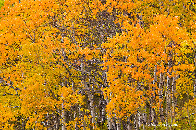 Aspen grove in peak fall colors near East Glacier Montana