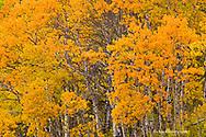 Aspen grove in peak fall colors near East Glacier Montana