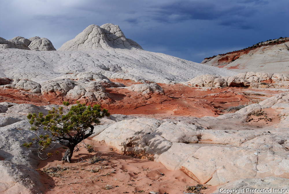 In this image of Arizona there is a single tree in the White Pocket area of the Coyote Buttes South in Northern Arizona. Missoula Photographer