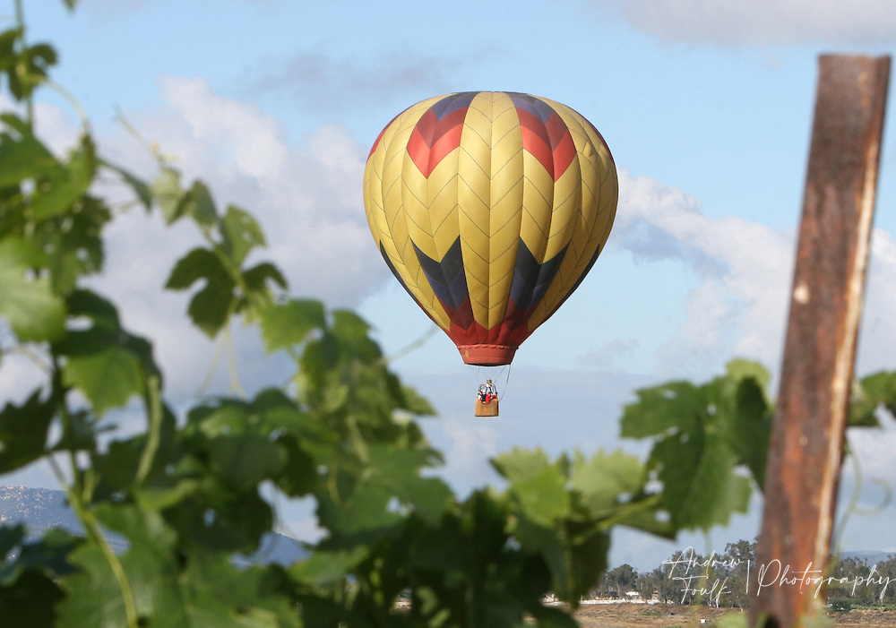 /Andrew Foulk/ For The Californian/.A hot air balloon peeks through the vines at one of the winery's Saturday morning , during the 26th annual Temecula Balloon and Wine Festival.