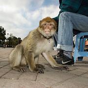 Marroco Marrakech 15 januari 2009 20090115 Foto: David Rozing ..Aap aan ketting bij eigenaar op centrale plein Marrakech  ( La Place ) Jemaa el Fnaa. Het dier wordt op de schouders van touristen gezet in ruil voor geld, of maakt salto's en dergelijke trucjes om toeschouwers te vermaken. .Monkey on chain at La Place Jemaa el Fnaa, animal abuse, the monkey has to perform tricks and sit on people for money making. ..Foto; David Rozing