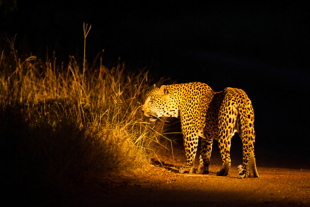 South Africa, Mpumalanga Province, Sabi Sands Game Reserve, Spotlight illuminates Leopard (Panthera pardus) walking along gravel track at night