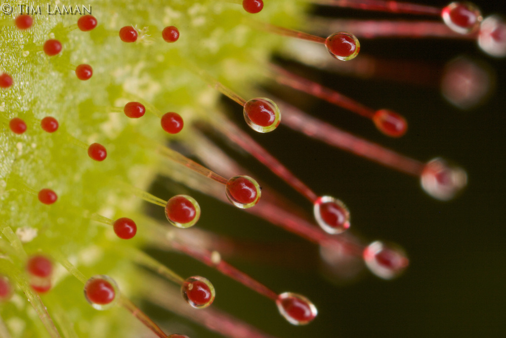 Close up detail of the sticky hairs of a sundew plant.  Haywood Meadow at Walden Pond.  Spring views at Walden Pond.
