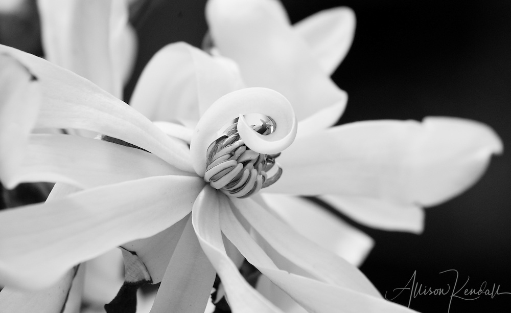 The petals of a star magnolia flower curl elegantly in high-contrast black and white.