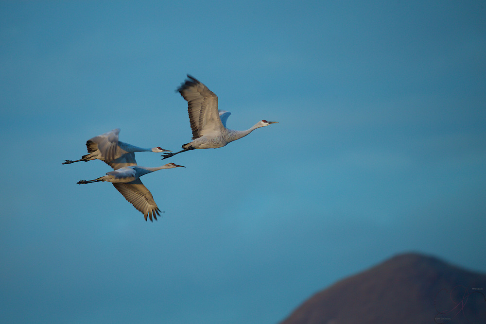 A trio of Sandhill cranes departs the feeding area in the early morning skies.