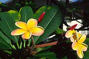 Plumeria flower<br />