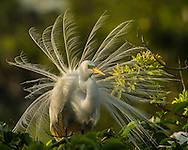 Egret With Mating Feathers
