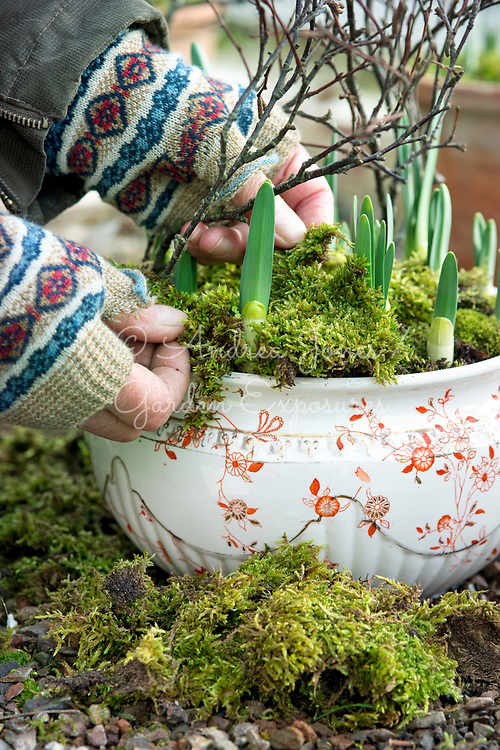 Forcing bulbs for Christmas. Daffodils in a chamber pot covered with a layer of moss.
