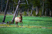 Elk (Cervus Canadensis) galloping in meadow with colorful wildflowers, Yellowstone National Park, Wyoming ..Subject photograph(s) are copyright Edward McCain. All rights are reserved except those specifically granted by Edward McCain in writing prior to publication...McCain Photography.211 S 4th Avenue.Tucson, AZ 85701-2103.(520) 623-1998.mobile: (520) 990-0999.fax: (520) 623-1190.http://www.mccainphoto.com.edward@mccainphoto.com