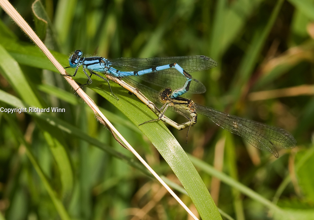 Male and female common blue damselflies in a mating wheel. The hairs can clearly be seen on both individuals in strong detail. Both damselflies are positioned ready for fertilisation of the eggs.
