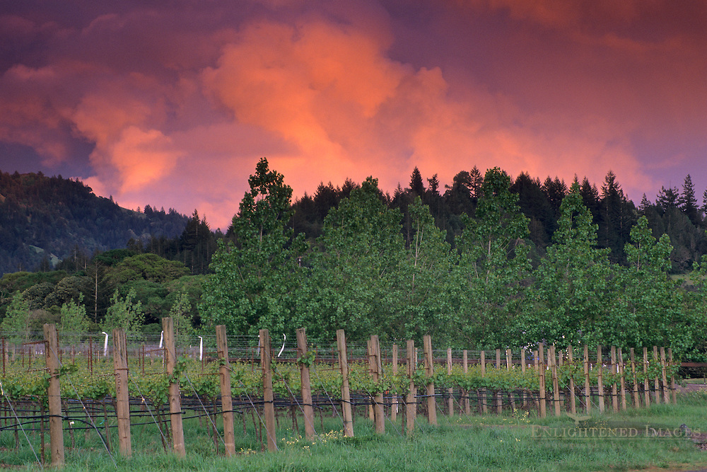 Sunset on spring storm clouds over vineyard and trees in the Anderson Valley, Mendocino County, California